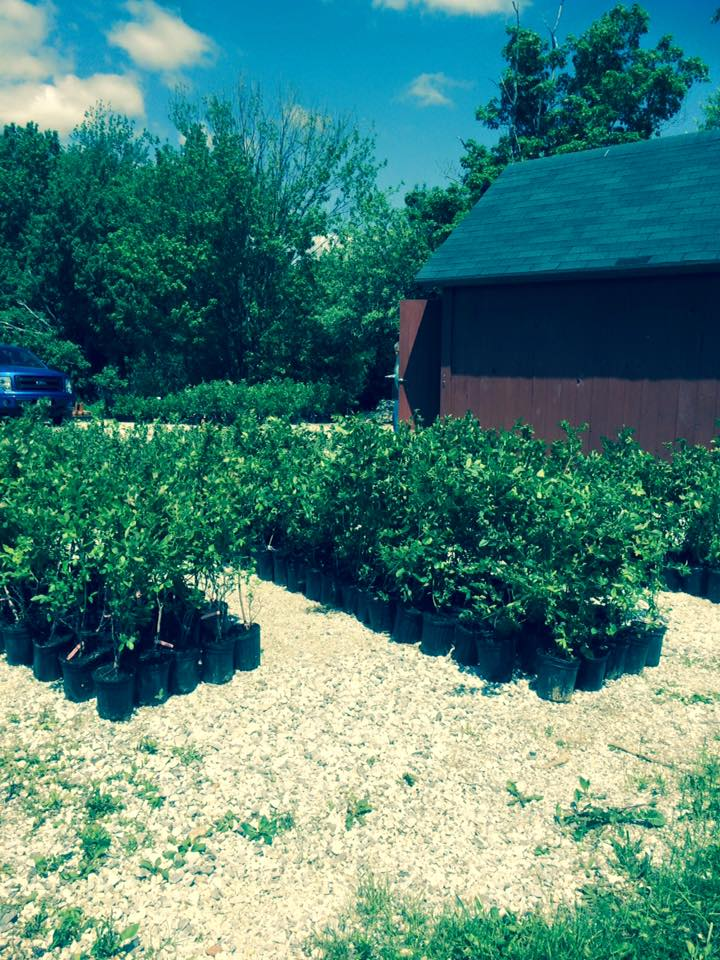 Our First Bushes