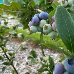 Blueberries Sunday July 11, 2021